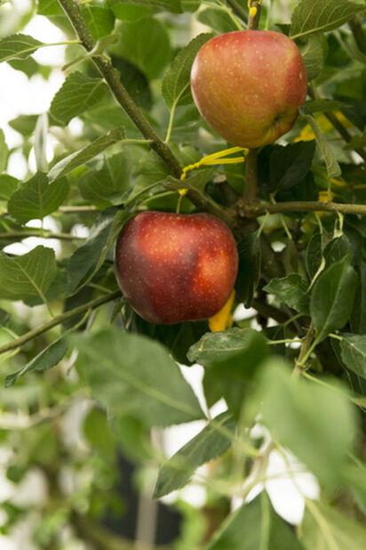 Eple 'James Grieve', Høyde 180 cm, Rød