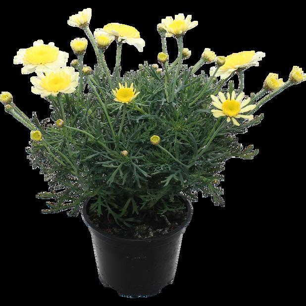 Margeritt i 12 cm gul