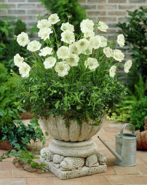 Kaukasusskabiosa, Høyde 15 cm, Hvit