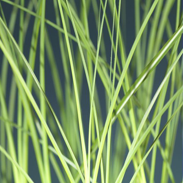 Silkekinagress, Høyde 50 cm, Grønn