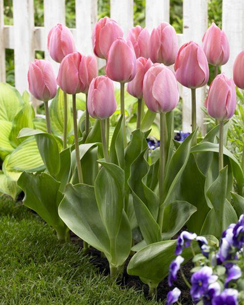 Darwin hybrid tulipan 'Mystic van Eijk', Rosa