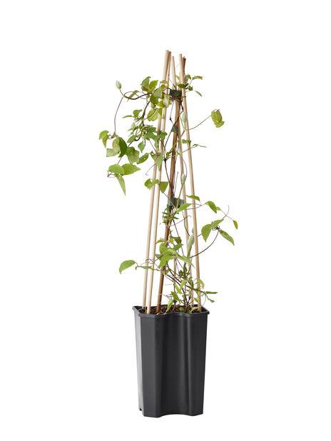 Klematis 'Hagley Hybrid', Høyde 60 cm, Rosa