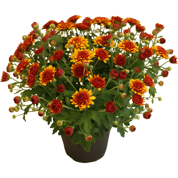 Krysantemum, Ø19 cm, Oransje