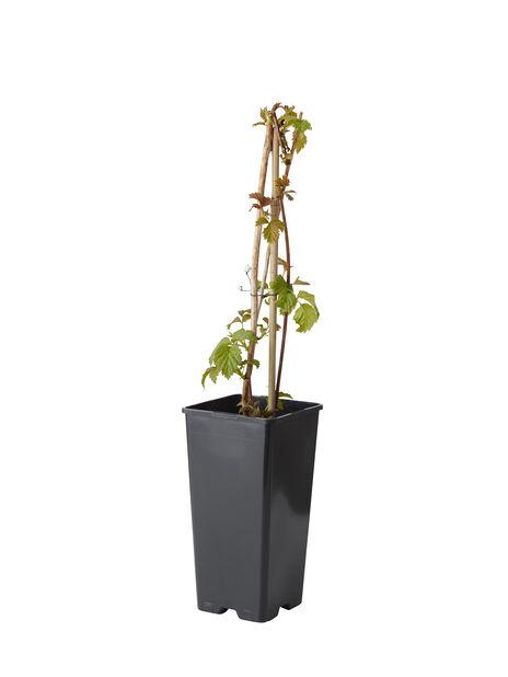 Bringebær 'Glen Coe', Høyde 30 cm, Lilla