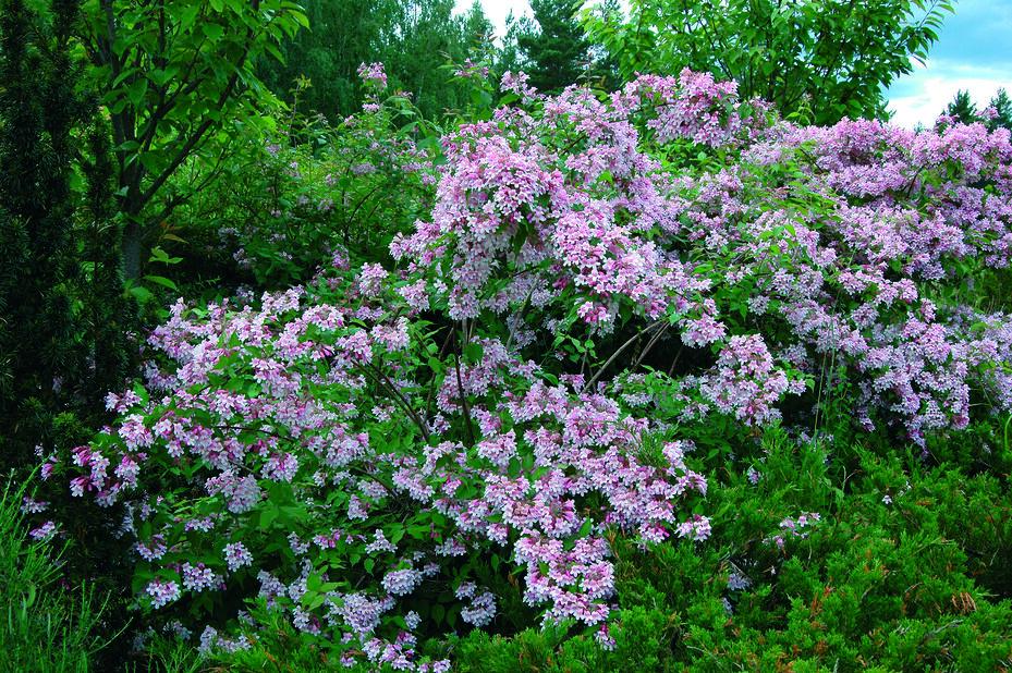 Fagerbusk, Høyde 50 cm, Rosa