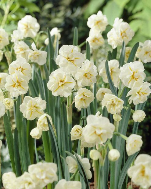Narcissus 'Sir Winston Churchill', Flere farger