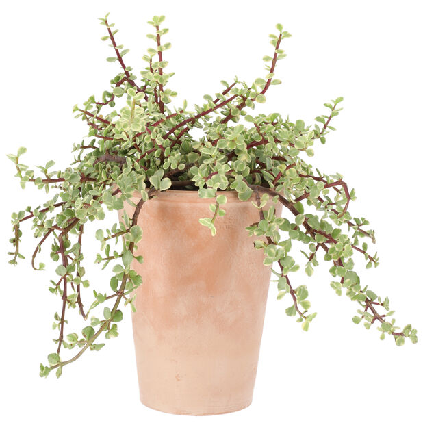 Kaktus miks i potte, Høyde 25 cm, Grønn