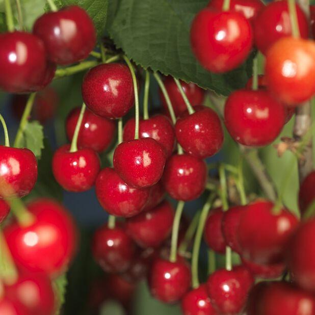 Søtkirsebær 'Stella', Høyde 100 cm, Rød