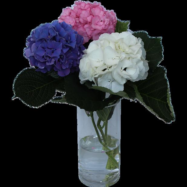 Hortensia mix farger, Høyde 50 cm, Flerfarget