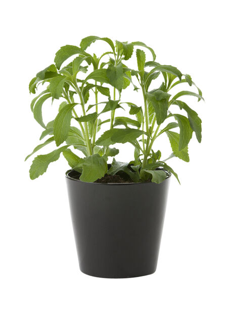 Stevia , Ø12 cm, Grønn