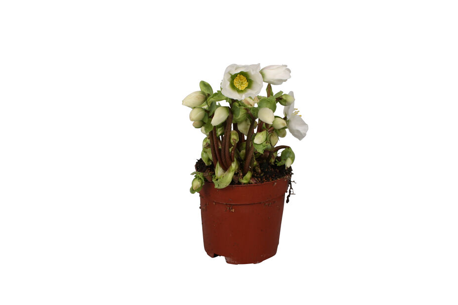 Julerose 'Verboom Beauty' 10.5 cm
