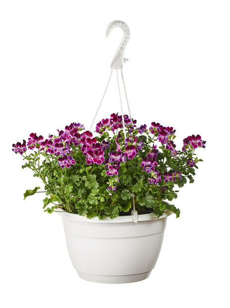 Pelargonia 'Angeleyes', Ø27 cm, Flere farger
