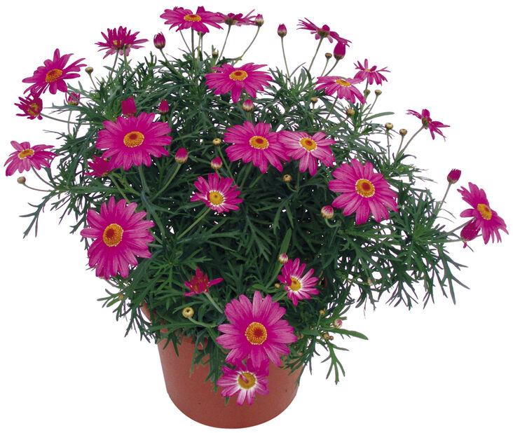 Margeritt rosa 19 cm