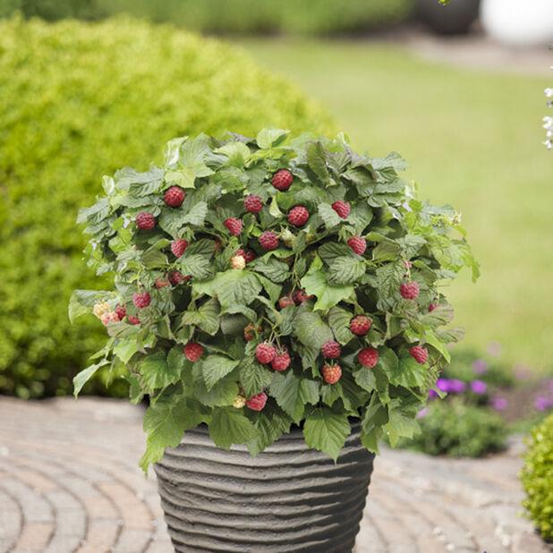 Bringebær 'Ruby Beauty', Ø23 cm, Rød