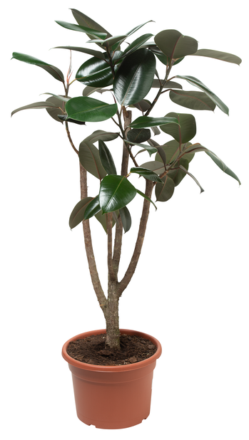 Gummifiken , Høyde 120 cm, Grønn