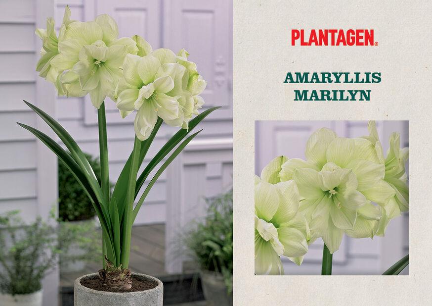 Amaryllis 'Marilyn', Flerfarget