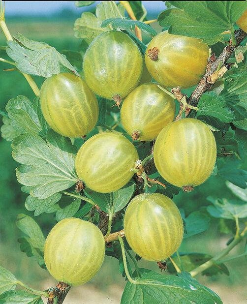 Stikkelsbær Gul