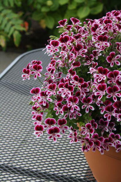 Engelsk pelargonia 12 cm