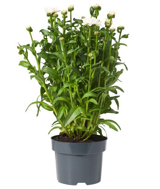 Kjempekrage 'Sweet Daisy Jane', Ø17 cm, Hvit