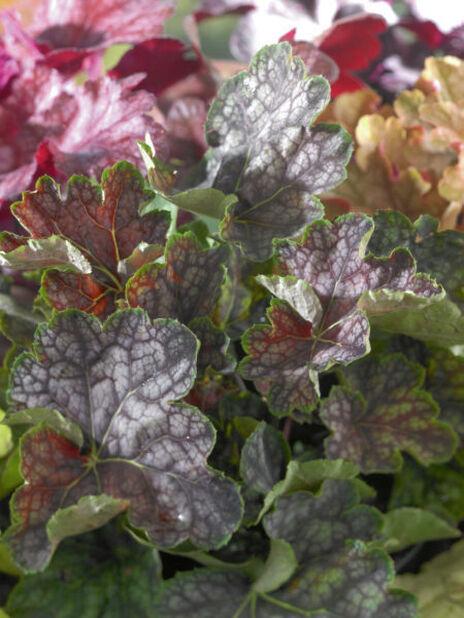 Alunrot, Høyde 15 cm, Rosa