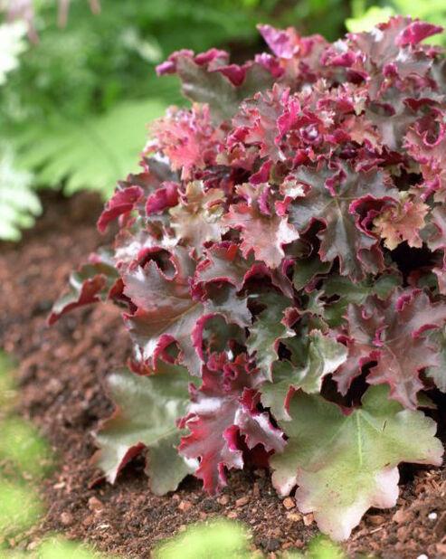 Alunrot, Høyde 15 cm, Rød