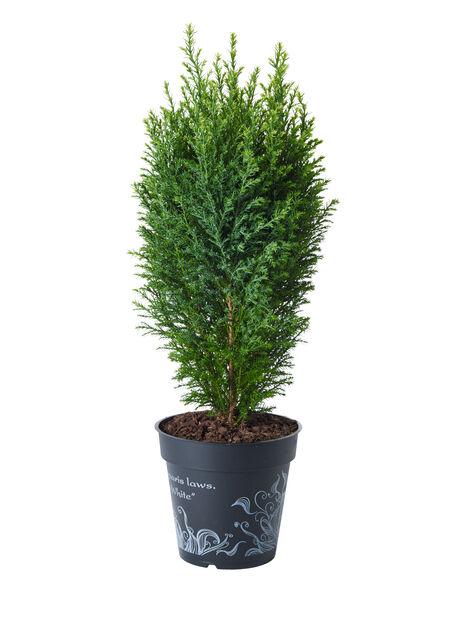 Edelsypress , Høyde 25 cm, Blå