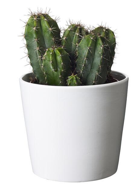 Kaktus miks 12 cm