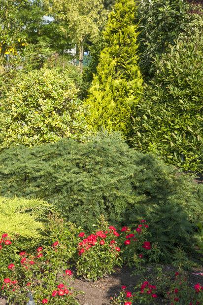 Krypbarlind, Høyde 30 cm, Grønn
