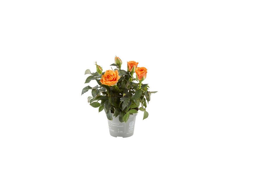 Potterose mini, Høyde 12 cm, Flere farger