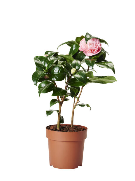 Kamelia, rosa