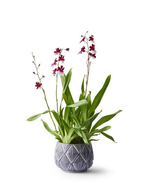 Orkidé 'Cambria', Høyde 60 cm, Flere farger