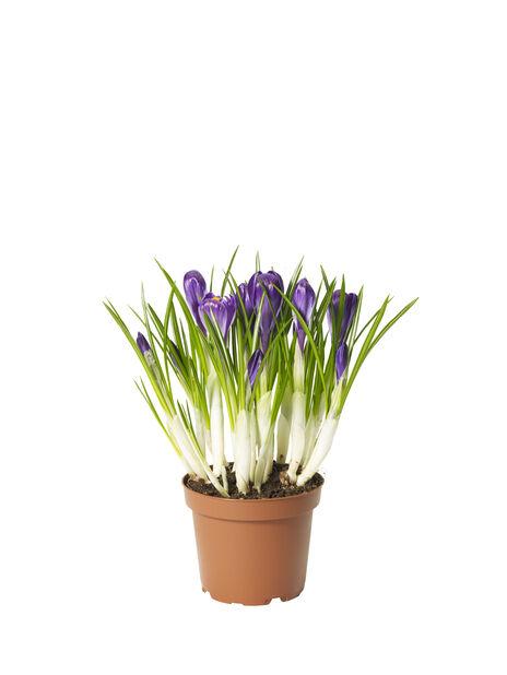 Krokus 'Flower Record', Ø12 cm, Lilla