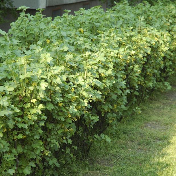 Alperips 'Schmidt', Ø22 cm, Grønn