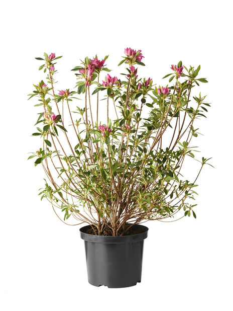 Rododendron 'Roza', Ø19 cm, Rosa