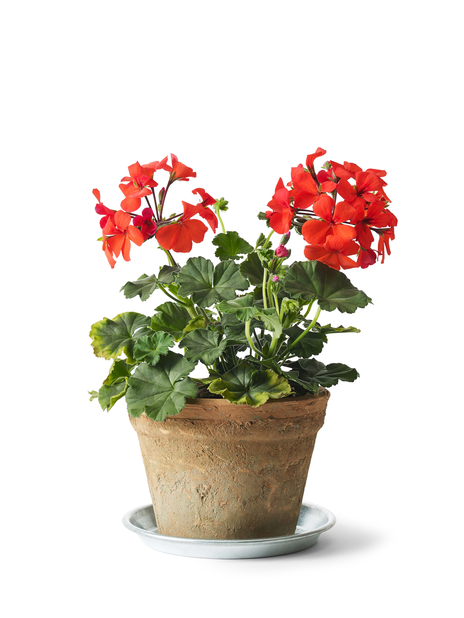 Pelargonia 'Caliente Orange 14 cm