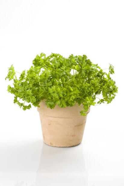 Kruspersille, Ø12 cm, Grønn