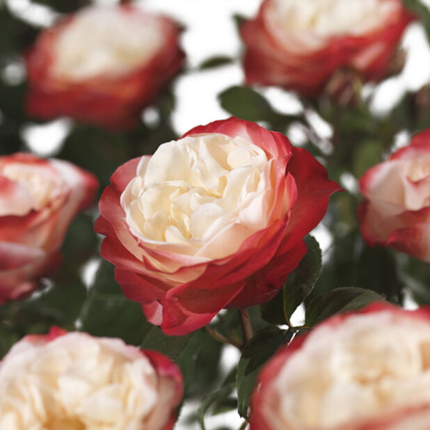 Rosa 'Nostalgie' 7,5L