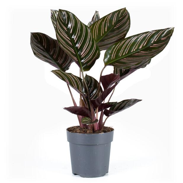Calathea  'Sanderiana', Høyde 30 cm, Grønn