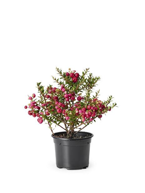 Bærmyrt, Ø10.5 cm, Flere farger