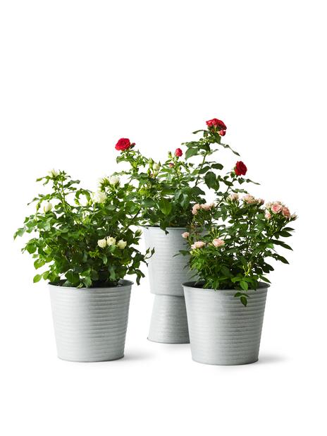 Terass rose, Høyde 30 cm, Rød