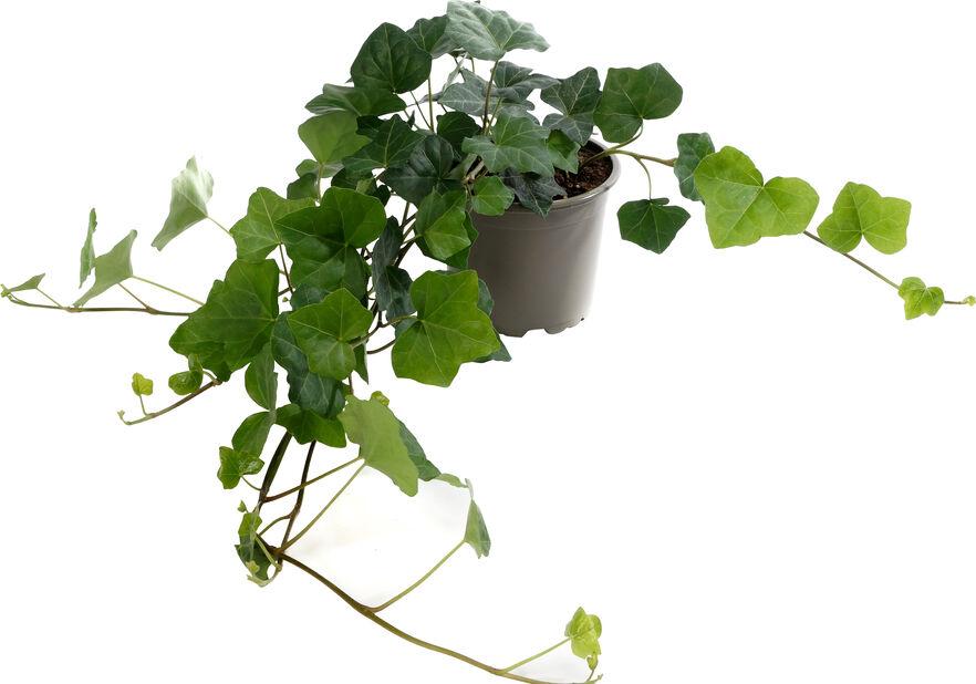 Eføy , Høyde 25 cm, Grønn
