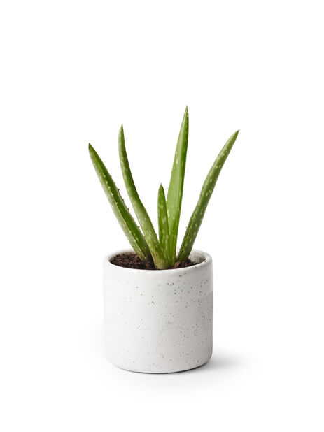 Aloe vera 6cm