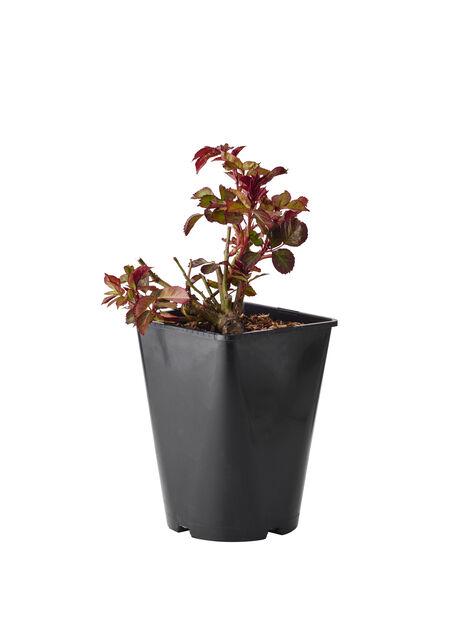 Klaseblomstrende rose 'Europeana', Høyde 20 cm, Rød