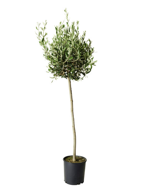 Oliventre, Ø24 cm, Grå