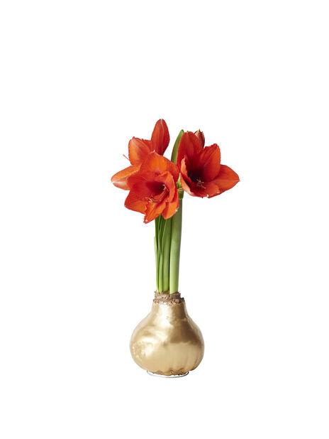 Amaryllis vokset løk, Ø13 cm, Flere farger