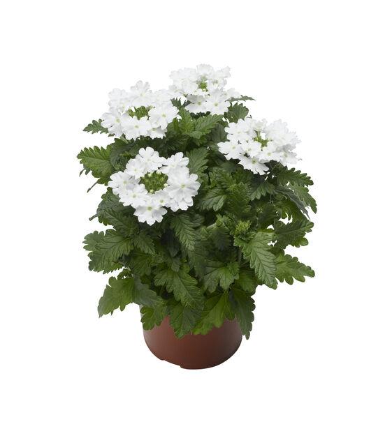 Verbena hvit 12 cm