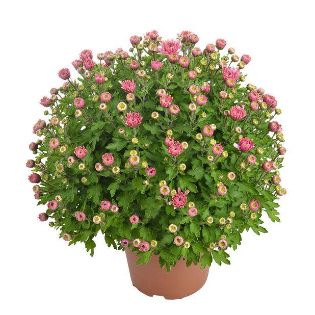 Frilandskrysantemum, Ø14 cm, Rosa