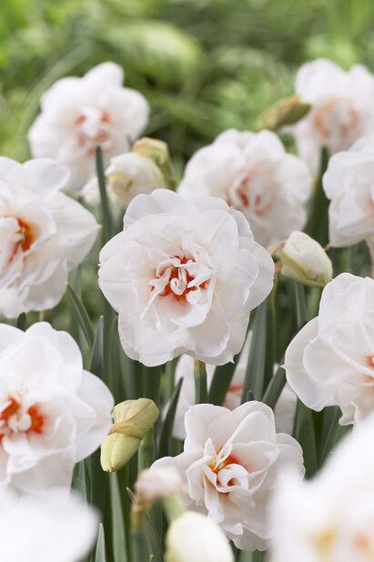 Narcissus 'Acropolis'