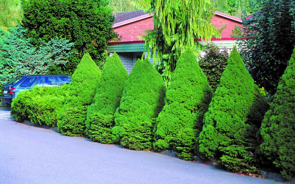 Kjeglegran 'Conica', Høyde 30 cm, Grønn