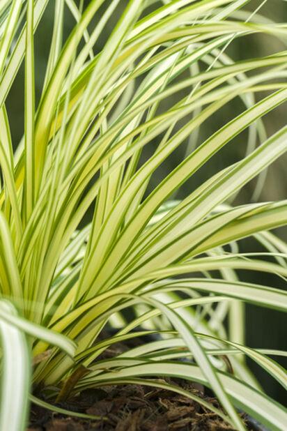 Starr 'Evergold', Ø19 cm, Grønn